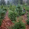 ELL Guide to Christmas: Buying Christmas trees