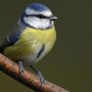 Blue tit: (Ray Kennedy, RSPB Images)