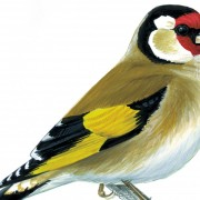 Goldfinch: Mike Langman, RSPB Images