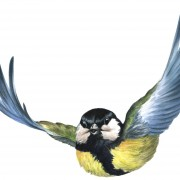 Great tit: Robin Boutell , RSPB Images