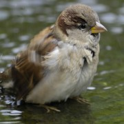 House sparrow: Ray Kennedy, RSPB Images