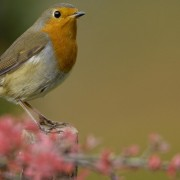 Robin: Robert Kennedy, RSPB Images