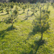 all of the organisation's trees are sustainably farmed pic: brent.flanders