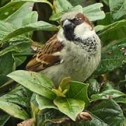 House Sparrow, pic Stuart Dootson
