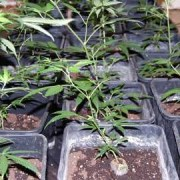 Cannabis plants found at Banister House, Homerton High Street. Pic: Metropolitan Police Service