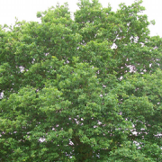 English Oak Tree Pic: anemomeprojectors