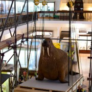 The Horniman walrus being hoisted from his ice floe Pic: Alex Braun/Horniman Museum and Gardens