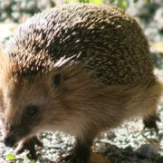 Hedgehogs are now a rare sight in Tower Hamlets