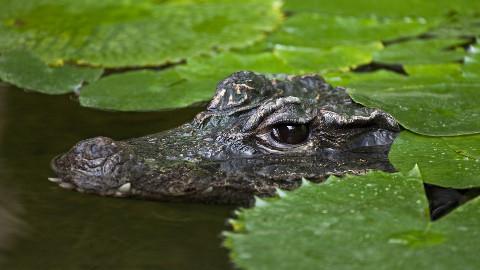 Crocodile escaped Pic: Rod Williams
