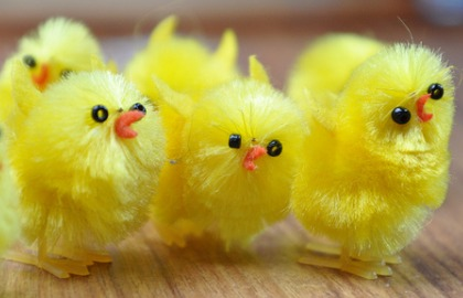 Easter Chicks Pic: Peter Taylor