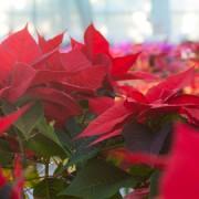 Poinsettia. Pic. H Matthew Howarth