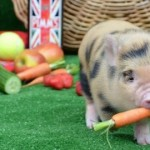 Micro-pig eating a carrot. Pic: Yelp.