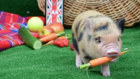 Oink your way to haggerston this may and learn about pigs - What do miniature pigs eat ...