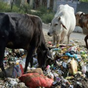 Cows on waste dump, Delhi. pic Shadab Ahmad Moizee