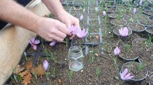 Harvesting saffron to jars.