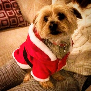 My dog, in her Christmas outfit.