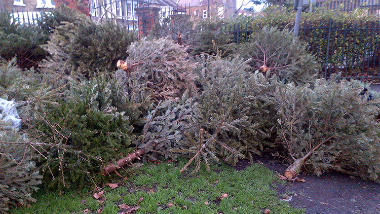 Lewisham Christmas trees ready to be recycled.