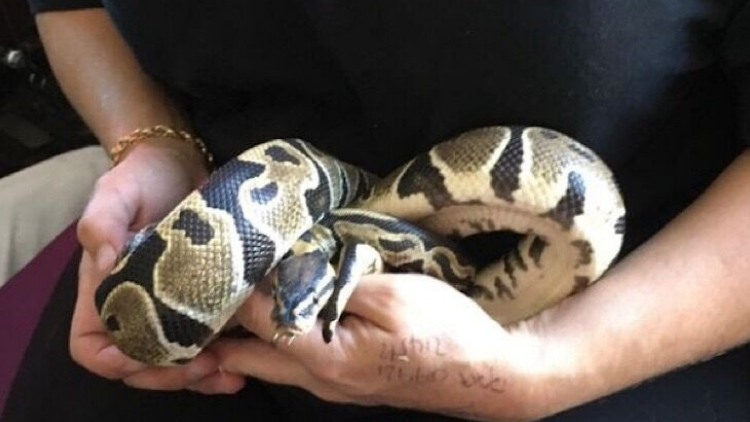 Two pythons have been found in Croydon in less than 48 hours