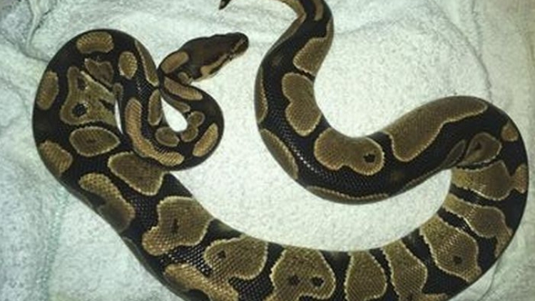 Royal pythons are not poisonous so pose no threat other than biting