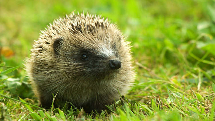 British hedgehogs face possible extinction from modern farming and urbanisation Pic: LazyDaisie