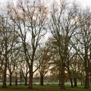 Hackney's London plane trees